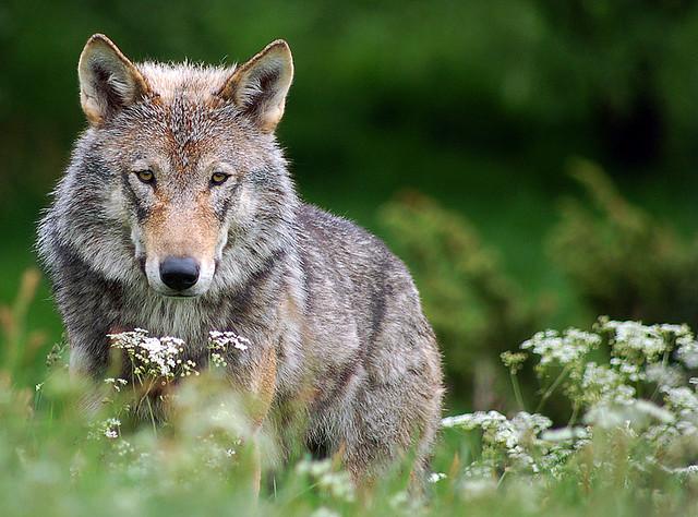 Vilko simbolinė reikšmė