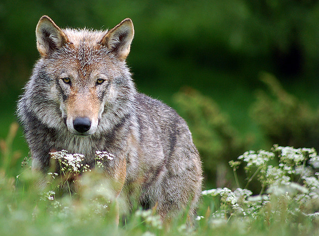 Wolf and its symbolic meaning